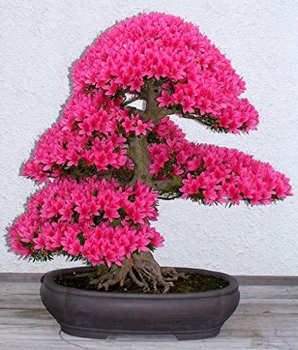 Kit de semillas de bonsái de azalea japonesa, cultivar tu propio bonsái (maceta no incluida).