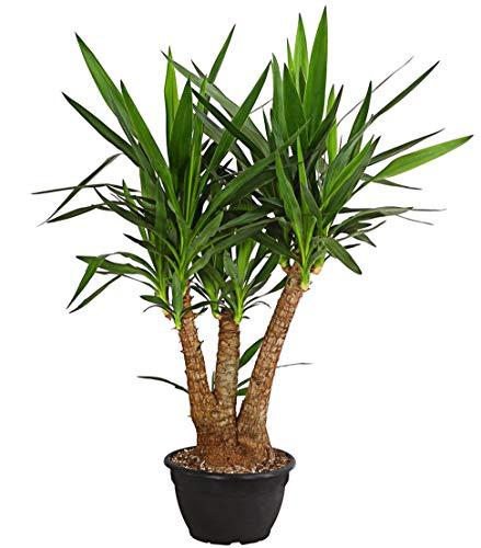 Dehner Yucca-Palme, mehrtriebig, ca. 90-100 cm, Ø Topf 26 cm, Zimmerpflanze