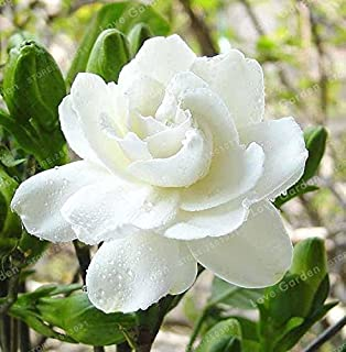 WANCHEN 2PCS / Bag, Cape Jasmine Flowers Real Plant,Home Garden Potted Bonsai, The Budding Rate 95%, Amazing Smell & Beautiful Flowers (Seeds not Plants)