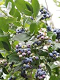 TOP HAT Blueberry Bushes Lịve Plạnt – Lịve Blueberry Plạnt for Plạnting Gardening Outdoor
