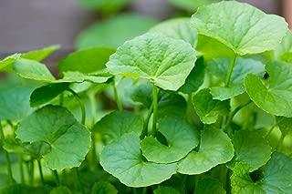 ENVIDESO 200 Centella Asiatica Indian Pennywort Gotu Kola Seeds