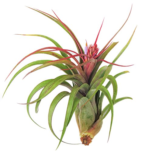 Large Air Plants - Sparkler Air Plants - Nice 5 to 7 inch air Plant - Color & Form Varies by Season - 30 Day Guarantee air Plant Care ebook with Order