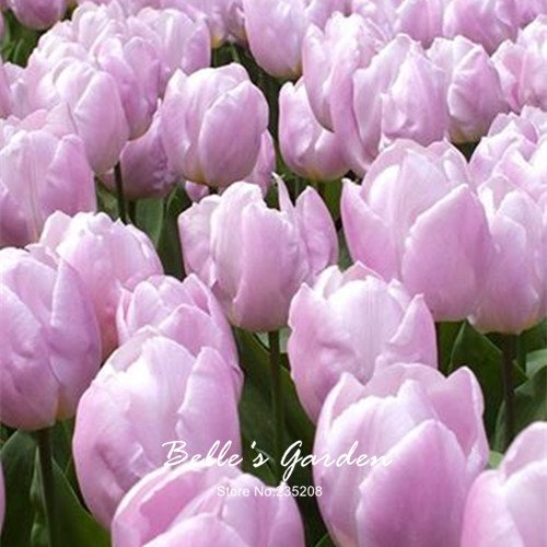 5pcs Rare Light Pink Tulip bulbes de tulipes Bonsai Fleur Tulipa 'Candy Prince' jardin Plantes vivaces en pot bulbes