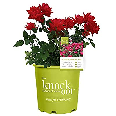 Knockout Double Red Rose, 1g