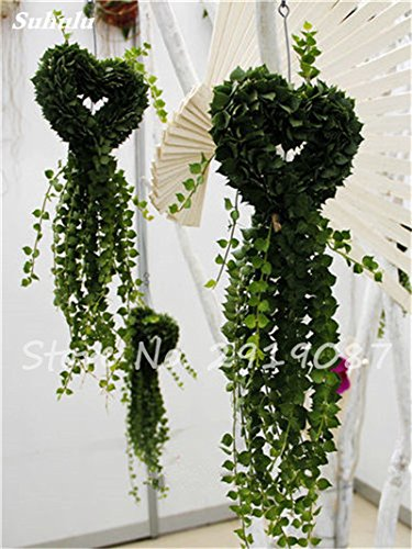 Pearl Chlorophytum Seeds 100 Pcs Hanging type de pot Chlorophytum Plantes fleuries Accueil Intérieur air frais Jardin résistant au froid 11