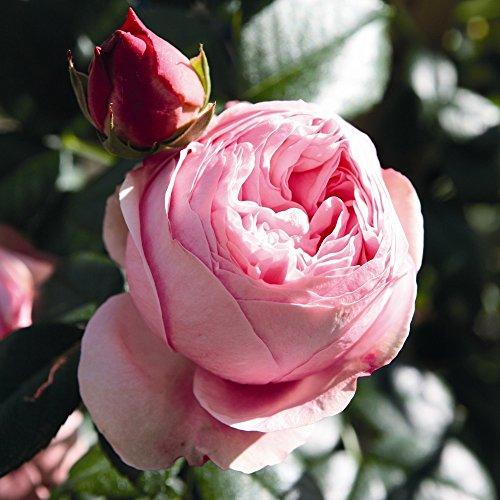 Kletterrose Giardina in Rosa - Kletter-Rose Nostalgie winterhart & duftend - Pflanze für Rankhilfe wurzelnackt/Wurzelware von Garten Schlüter - Pflanzen in Top Qualität