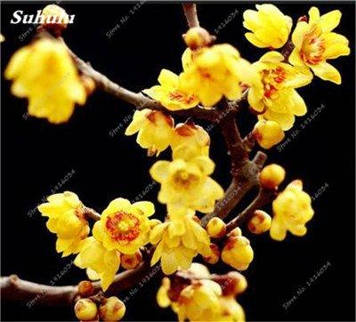 5 pièces rares Couleur vivaces Wintersweet graines, fleurs de pruniers, Blanc Jaune Rose Rouge Calyx Canthus Fleur Graine-Land Miracle 8