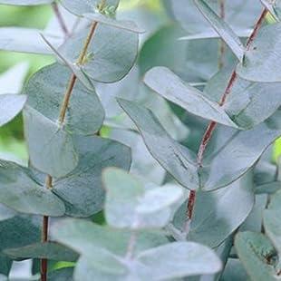 Eucalyptus 'Gunnii' 15cm Pot Size
