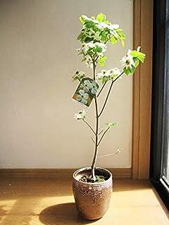 母の日ギフト ハナミズキクラウドナイン花鉢 鉢花