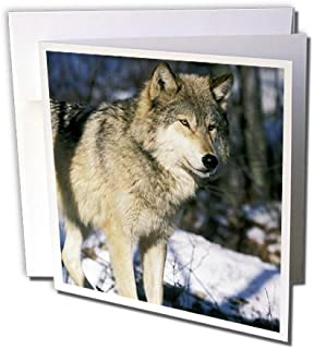 3dRose North America, USA, Minnesota. Wolf (Canis lupus) - US24 GJE0011 - Gavriel Jecan - Greeting Cards, 6 x 6 inches, set of 12 (gc_91385_2)