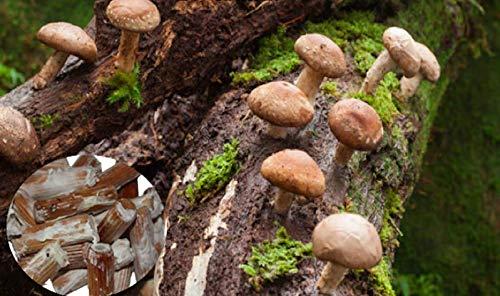 Shiitake Mushroom Mycelium Plug Spawn 20 piezas - Cultiva hongos comestibles y medicinales en árboles