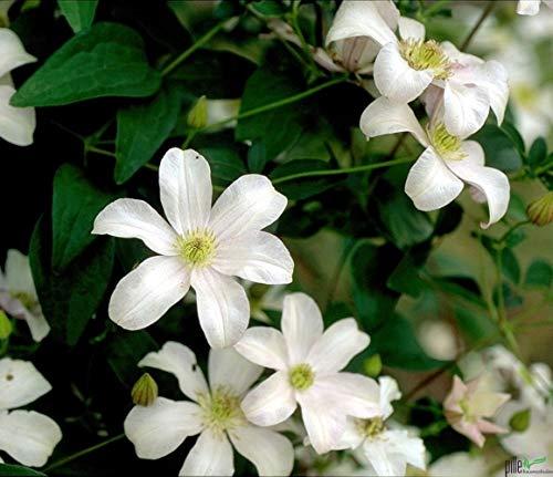 Clematis Pflanzen Kletterpflanzen winterhart Waldrebe im Topf viele Sorten (Huldine)