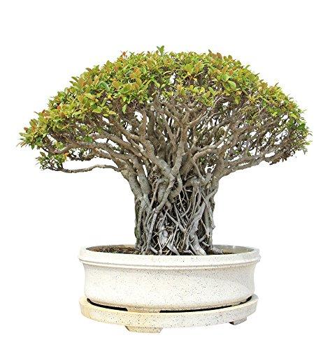 Buddha Baum 20 Samen - Pappel Feige, Ficus Religiosa - Bonsai