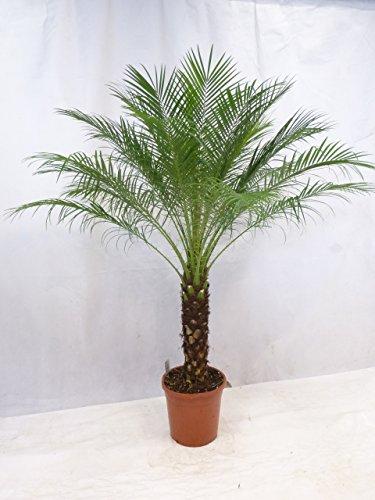 [Palmenlager] - Phoenix roebelenii - Zwerg-Dattelpalme 180/210 cm - Stamm 50/60 cm/Zimmerpalme