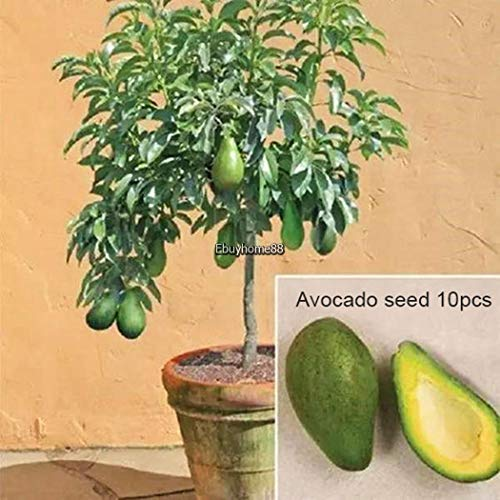 Portal Cool 10pcs / bag aguacate Semillas Semillas Bonsai fruta verde jardín Persea Americana Ehe8 02