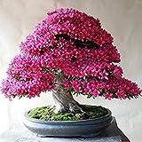 ASTONISH SEEDS: A3: 100 PC/paquete raras Bonsai 13 variedades de Azalea semillas DIY Hogar y jardín Plantas forma de semillas de cerezo japonés Sakura floraciones de la flor