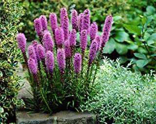 20 Liatris Blazing Star Pink/Purple Color Flower Bulb Perennial Summer Bloom Plant Fresh Beauty