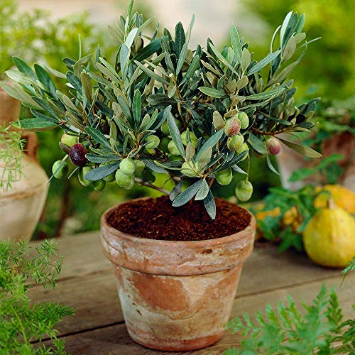 Olea Europaea Olive Tree - Hardy Evergreen Mature Indoor Fruit Plant in 14cm Pot