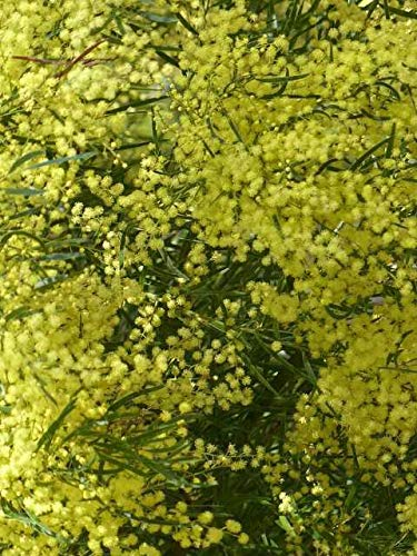 Pianta Di Acacia Dealbata Pianta Albero Acacia Dealbata Astone Di Mimosa