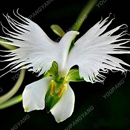 100 pcs / pack japonais Radiata Seeds Aigrette Orchid Seeds espèces du monde Orchidée Rare Blanc Baison Fleurs Orchidee Jardins de semences Orchid