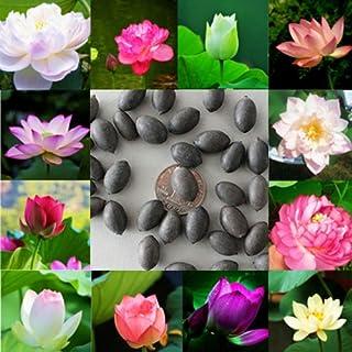Hanbaili Paquete de 2 Semillas de Flor de Loto de Tazón Acuático, 10 Unids/Paquete Semillas de Plantas Hidropónicas de Flor de Acuicultura de Color Mezclado