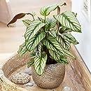 14cm Pot Calathea Dottie Schattenpflanze with Unusual Leaf Pattern