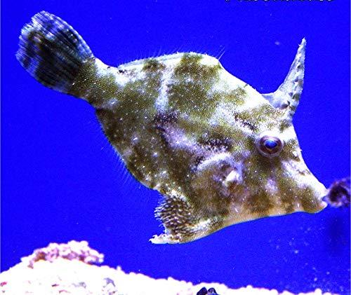 【海水魚・観賞魚・カワハギ】 フチドリカワハギ ■サイズ:4cm± (3匹)