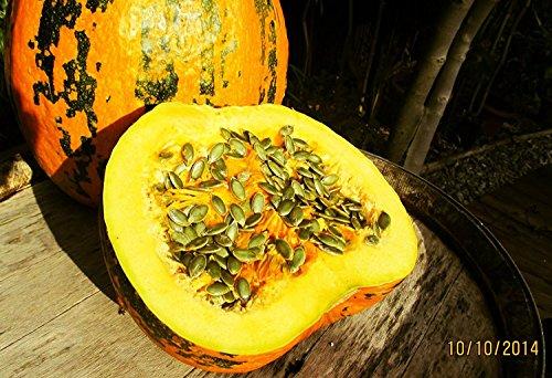 100 Samen steirischer Ölkürbis, Cucurbita pepo var. styriaca, wertvoller Ölkürbis