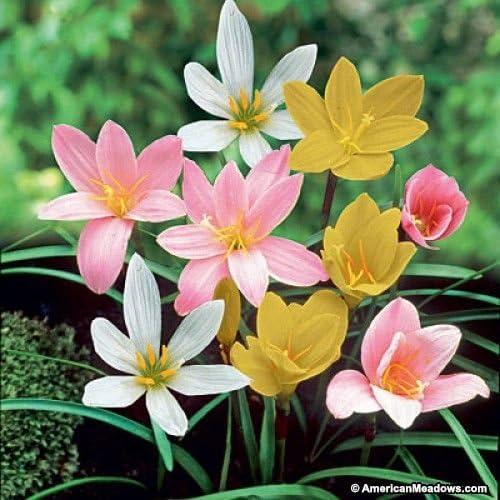 Urban Gardens Rare Mixed Rain Lily Bulbs, Zephyranthus- 5 Pieces