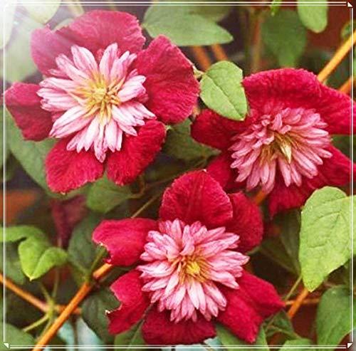 Clematis Zwiebel,Machen Sie Menschen Glücklich, Schöne Blumen,Charme Einfach, Schöne Pflanzen, Leuchtende Farben-5 Zwiebel,2