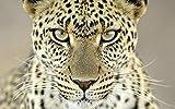 QRKJ Rompecabezas 6000 Piezas para Adultos Leopardo Rompecabezas difícil Juego de Juguetes para Actividades en el Interior, Juegos para Adultos Rompecabezas Familiar Rompecabezas para niños