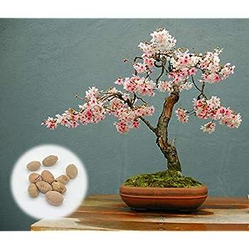 Amazon Com 10 Japanese Flowering Cherry Blossom Bonsai Seeds Fresh Exotic Rare Bonsai Seeds Garden Outdoor
