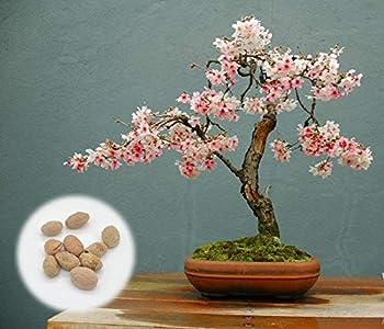10 Japanese Flowering Cherry Blossom Bonsai Seeds Fresh Exotic Rare Bonsai Seeds