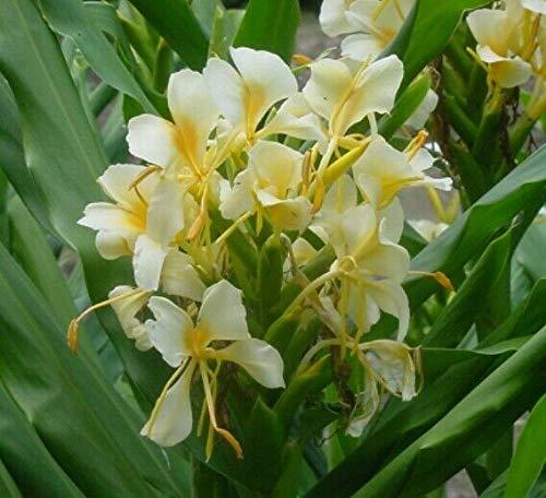 FERRY Bio-Saatgut Nicht nur Pflanzen: Hedychium Yellow & erfly Ingwerlilie -2 / Rhizome