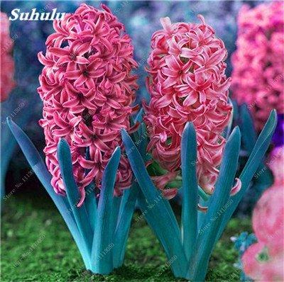 Livraison gratuite Parfum Pas Cher Graines jacinthe, plantes en pot purifient l'air, PC de bureau Décor-100 Pcs Hyacinthus Orientalis Seed 11