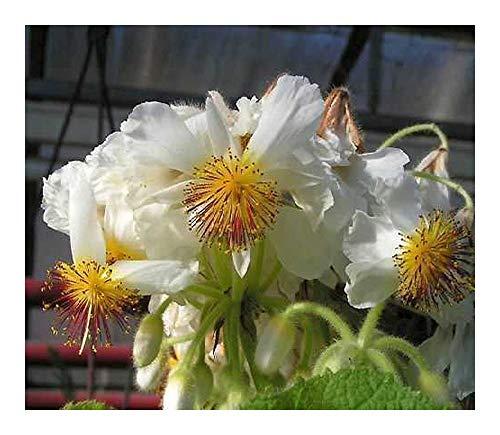 Sparmannia africana - Zimmerlinde - 10 Samen