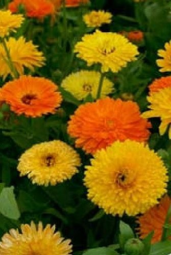 JustSeed - Blume - Ringelblume (Calendula officinalis) - Pacific Beauty Mix - 1000 Samen