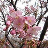 桜[サクラ・カンヒザクラ系]:河津桜[カワヅザクラ]接木苗4~5号ポット