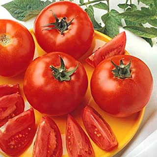 Tomato Bush Early Girl F1 - Vegetable Seeds Package - 500 Seeds