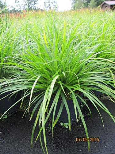 Japan-Segge J.S. Mosten - Carex morrowii...