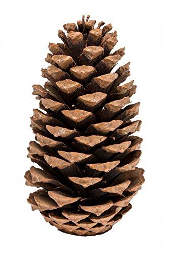 NaDeco Pinus Maritima 14-18cm 20 Stück Maritima Tannenzapfen Große Tannenzapfen Große Kiefernzapfen Weihnachtsdekoration
