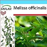 SAFLAX - Set regalo - Melisa u hoja de limón - 150 semillas - Con caja regalo/envío, etiqueta para envío, tarjeta de felicitación y sustrato de cultivo y fertilizante - Melissa officinalis