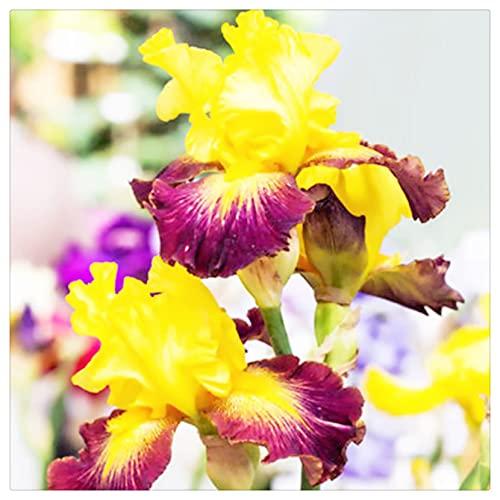 Iris Rhizom, Irisknolle, Einfach in vier Jahreszeiten zu kultivieren, Die Blumen sind kostbar und wunderschön, Kälte- und trockenheitsresistent, Balkon eingetopft-5 Knolle,3