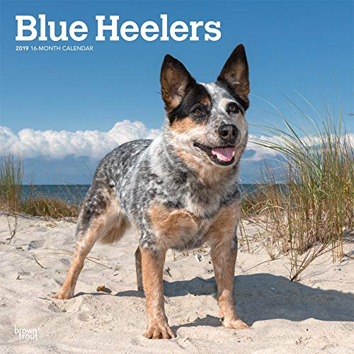 Blue Heelers 2019 12 x 12 Inch Monthly Square Wall Calendar, Animals Dog Breeds (Multilingual Edition)