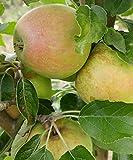 Finkenwerder Herbstprinz, alte Apfelsorte, Buschbaum (kleinbleibend), 120-140cm im Topf, Synonym Hasenkopf