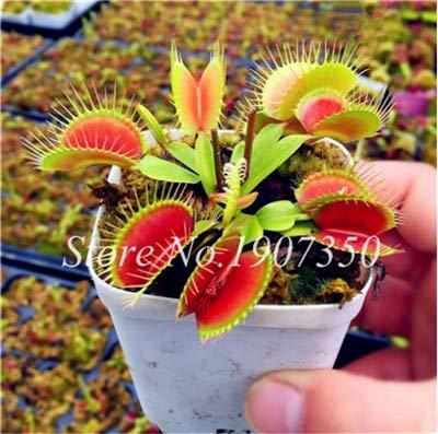 Shopmeeko Graines: Bonsai 100 Pcs/Sac Moucherolle Rare Rillettes Mixte insectivores Bonsai Plante Dionaea géant clip Dionée bateau libre: 15