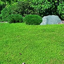 Outsidepride Herniaria Glabra Green Carpet Ground Cover Plant Seeds - 10000 seeds