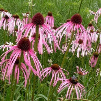Outsidepride Echinacea Pale Purple Coneflower - 1000 Seeds