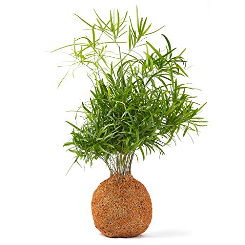 Bonsai Baum Falcatus Farn Coco Fiber Indoor Live - 30cm hoch