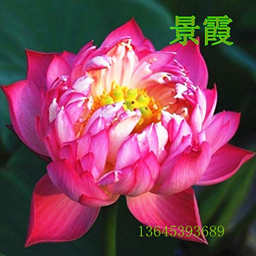 perenne Resistente Semillas,Nenúfar Loto de Interior Planta Verde en Maceta Tazón de Flores Cápsulas de Lotus Seed-S_100,Planta Maceta Semillas